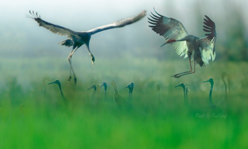 Schöne Landschaftsfotos in der Fotoserie über Kraniche des Fotografen Tang A Pau - ảnh 1