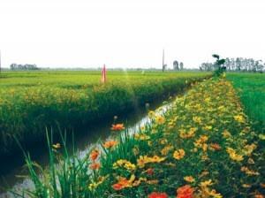 """Pola """"Sawah padi, pematangnya ditanami bunga  turut melakukan produksi pertanian secara berkesinambungan - ảnh 2"""