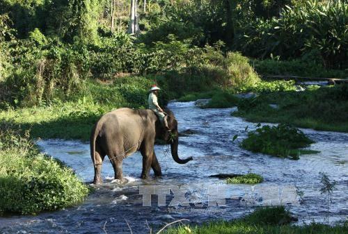 Menjaga pelestarian kawanan gajah di Provinsi Dak Lak - ảnh 1