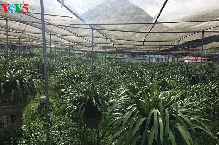 Penanaman pohon bunga anggrek tanah membantu warga Kecamatan Ta Phin lepas dari kemiskinan - ảnh 2