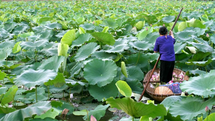 Teh beraroma teratai Danau Tay – Intisari orang Kota Hanoi - ảnh 4