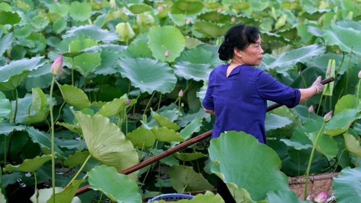 Teh beraroma teratai Danau Tay – Intisari orang Kota Hanoi - ảnh 7