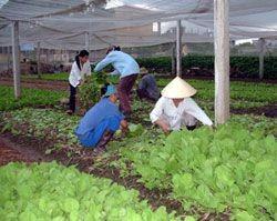 Деревня по выращиванию овощей Тхюи Линь - ảnh 4