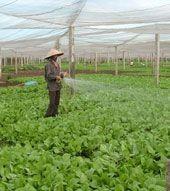 Деревня по выращиванию овощей Тхюи Линь - ảnh 3