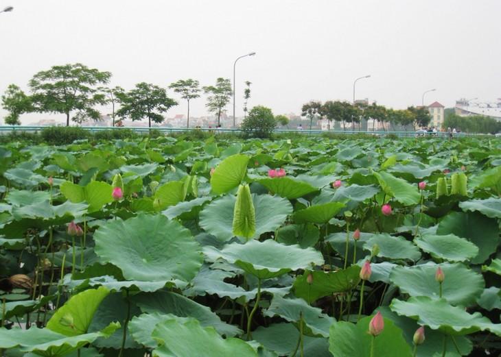 Западное озеро – интересное место в ценре Ханоя - ảnh 3