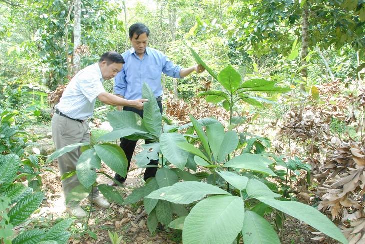 Представители народности Зао в провинции Куангнинь возобновляют ресурсы лекарственных растений - ảnh 1