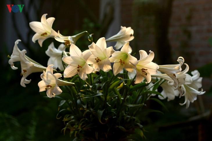 Tháng tư, hoa loa kèn về trên phố - ảnh 12