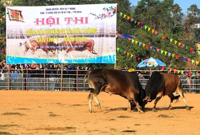 Thi chọi bò đầu xuân - một nét đẹp nơi vùng cao Điện Biên - ảnh 1