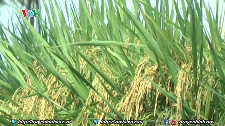 Ekspor beras direncanakan mencapai 5,2 juta ton dalam tahun 2017 - ảnh 1