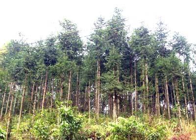 Perkenalan sepintas lintas tentang Hutan produksi di Vietnam  - ảnh 1