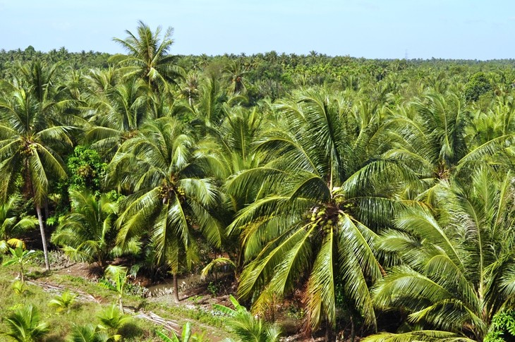 Pohon kelapa di  kebun-kebun perkarangan Propinsi Ben Tre - ảnh 1