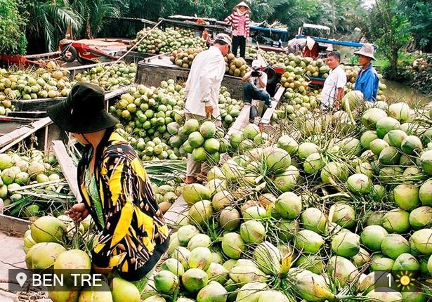 Pohon kelapa di  kebun-kebun perkarangan Propinsi Ben Tre - ảnh 2