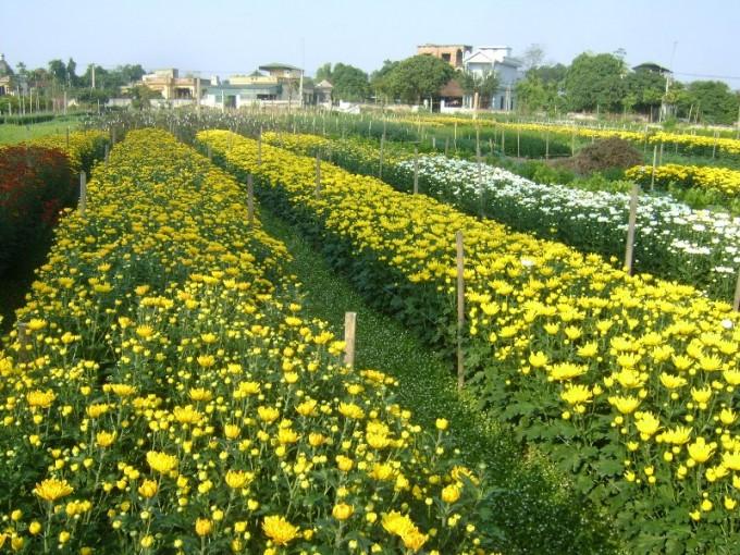 Desa bunga Phu Van mengembangkan kerajinan menanam pohon bunga yang dikaitkan dengan ekowisata - ảnh 1