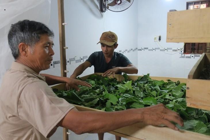 Kaum tani mendapat pendapatan tinggi karena menanam pohon murbei dan budidaya ulat sutra - ảnh 2