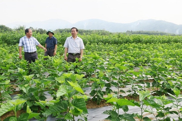 Kaum tani mendapat pendapatan tinggi karena menanam pohon murbei dan budidaya ulat sutra - ảnh 1