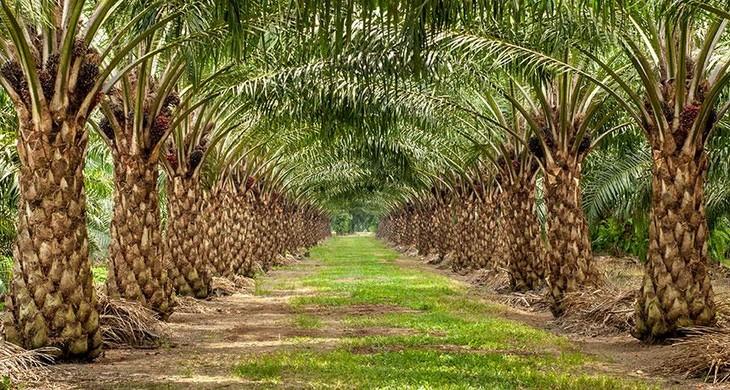 Memperkenalkan sepintas lintas tentang pohon sawit di Vietnam - ảnh 2