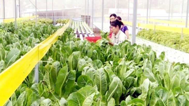 Pola pertanian bersih yang paling besar di Propinsi Yen Bai. - ảnh 1
