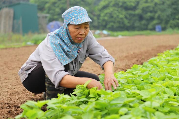 Kaum petani  di Propinsi Lai Chau mencapai kesejahteraan karena memproduksi pertanian spesialis - ảnh 1