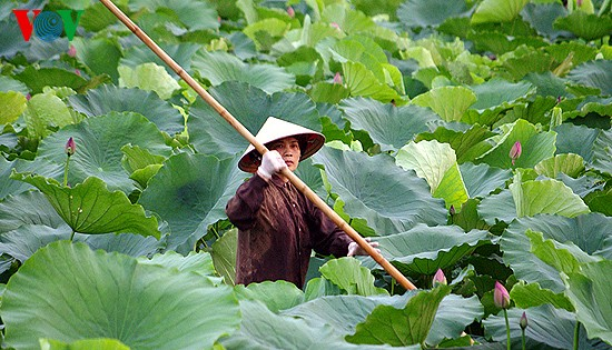 3356057085ce Lotus blossoms on West Lake - ảnh 1