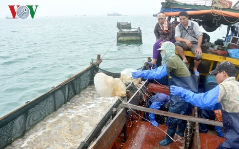 广宁姑苏的海蜇捕捞业 - ảnh 1