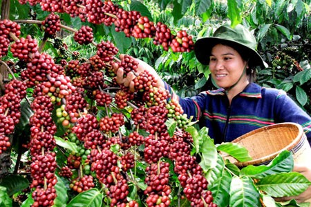 Buon Ma Thuot coffee festival kicks off   - ảnh 1