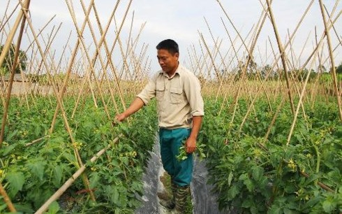 Ethnic youngster successful with safe vegetable growing - ảnh 1