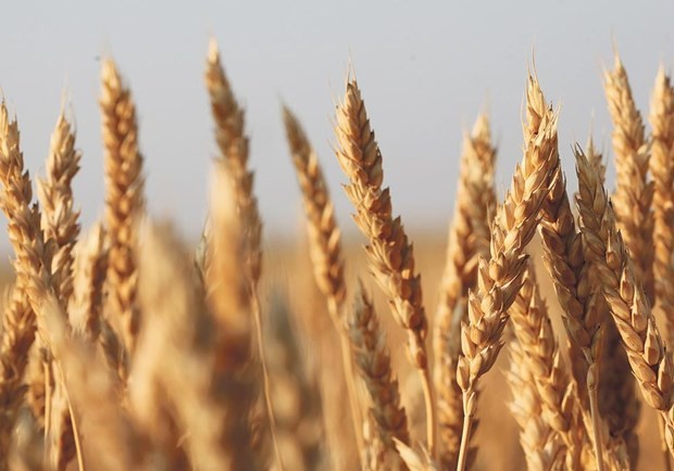 US wins WTO ruling against China grain import quotas - ảnh 1