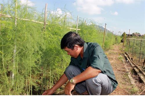 Xây dựng mô hình sản xuất cánh đồng lớn ở Ninh Thuận - ảnh 2