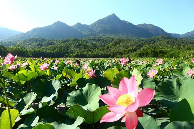 Exploring stunning lotus flower fields of Quang Nam - ảnh 1