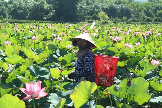 Exploring stunning lotus flower fields of Quang Nam - ảnh 6