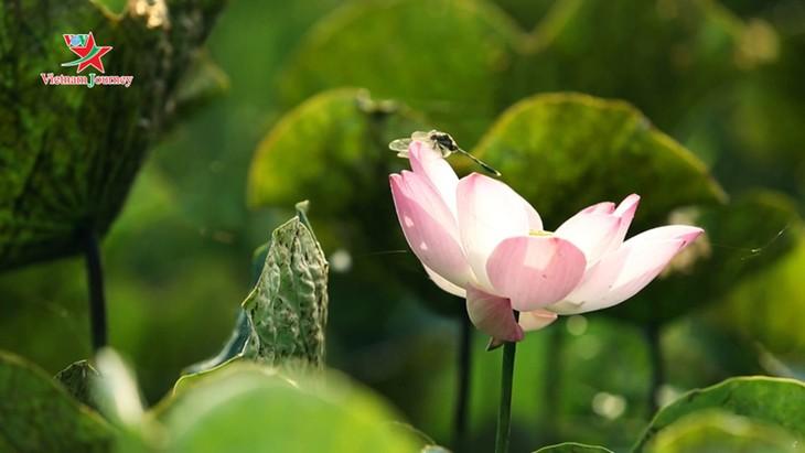 Đến Việt Nam ngắm nhìn sắc sen mùa Hạ - ảnh 2