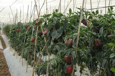 Don Duong, un área especializada de verduras  - ảnh 2