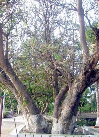 Árboles patrimoniales en Truong Sa - ảnh 3