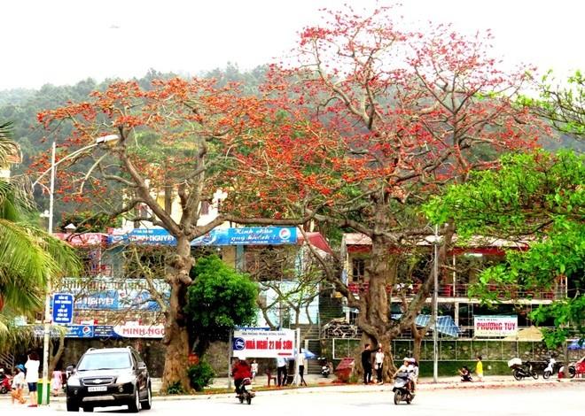 Algodonero rojo, princesa de las flores de ciudad portuaria de Hai Phong - ảnh 4