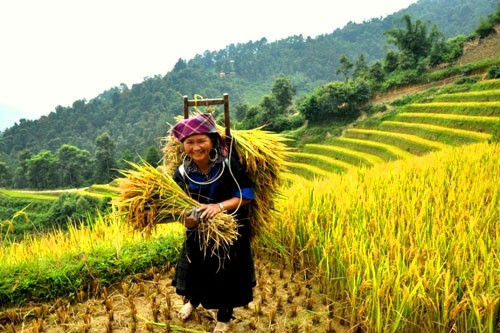 Comunidad étnica Mong se esfuerza por aumentar cosechas de arroz en terrazas  - ảnh 2