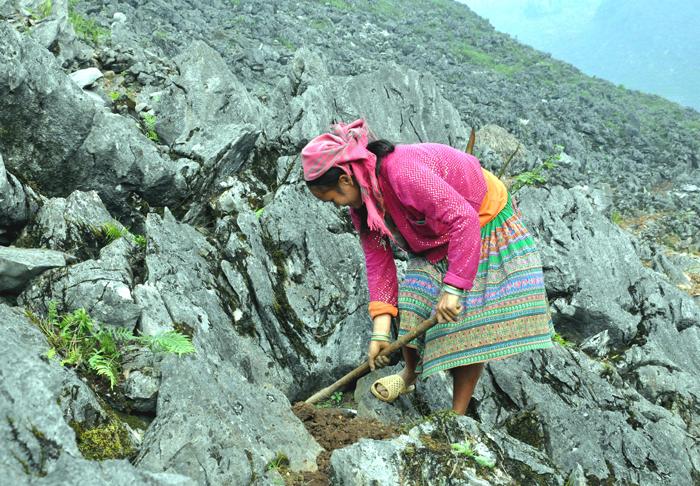 La etnia Mong y su técnica especial de cultivo en zonas rocosas - ảnh 1