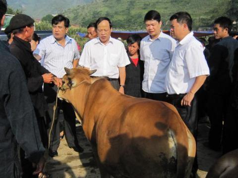 การเลี้ยงวัวเชิงพาณิชย์ในเขตที่รายสูงหินห่ายาง - ảnh 2