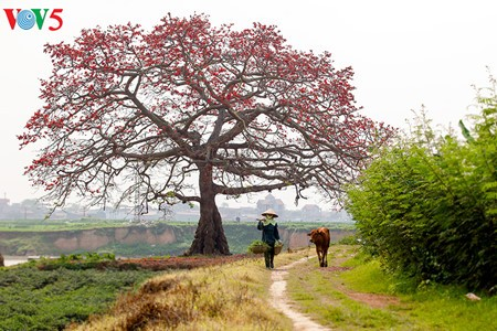 งิ้วแดงบานสะพรั่งในเขตชนบทภาคเหนือเวียดนาม - ảnh 13