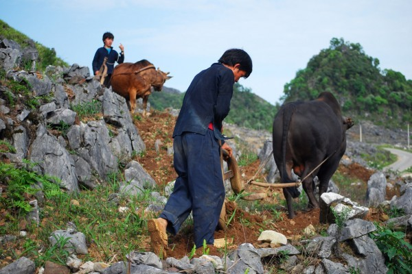 Mong ethnic people cultivate on rocks - ảnh 5