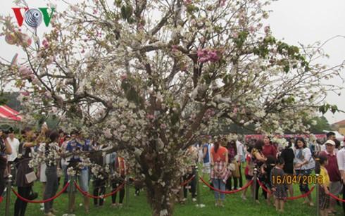 Lễ hội hoa anh đào Nhật Bản thu hút hàng nghìn bạn trẻ tham gia - ảnh 1