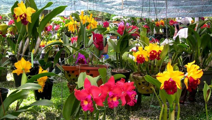 Thành phố Hồ Chí Minh sẽ tổ chức Fetival hoa lan - ảnh 1