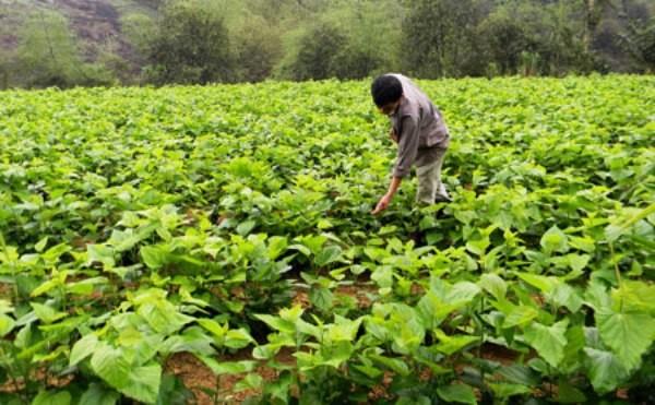 Nghề trồng dâu nuôi tằm ở Thiệu Hóa, Thanh Hóa  - ảnh 1