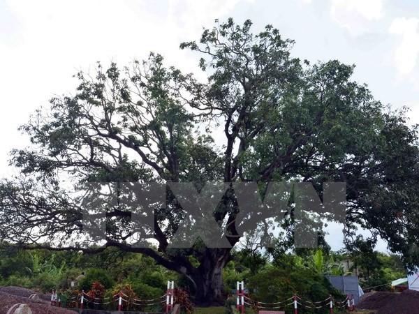 Cây xoài 300 năm tuổi ở Bạc Liêu được công nhận là Cây di sản Việt Nam  - ảnh 1