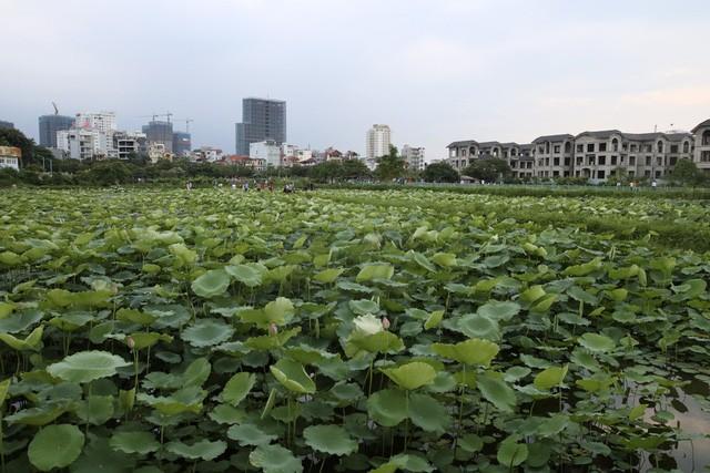 Trà ướp hương Sen Tây Hồ: Phong vị thanh tao đất Hà Thành - ảnh 1