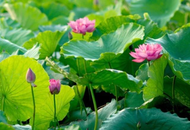 Trà ướp hương Sen Tây Hồ: Phong vị thanh tao đất Hà Thành - ảnh 4