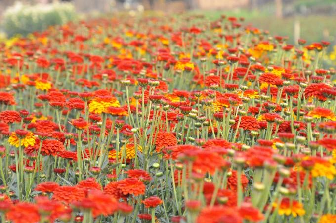 浮云花村将种花业与发展旅游相结合 - ảnh 3