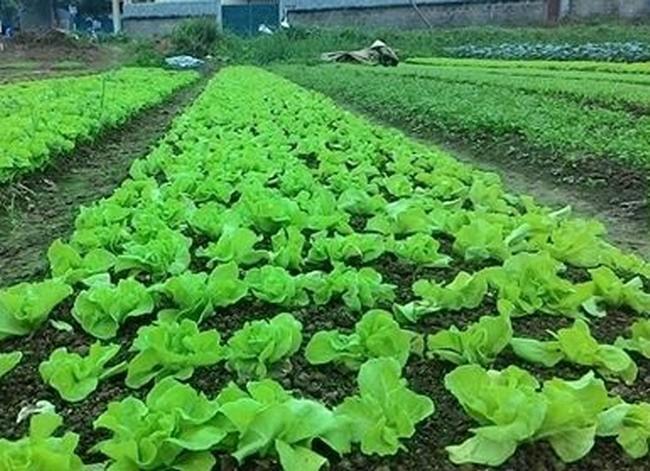 无公害蔬菜种植和蜜蜂养殖模式帮助河江省农民脱贫 - ảnh 1