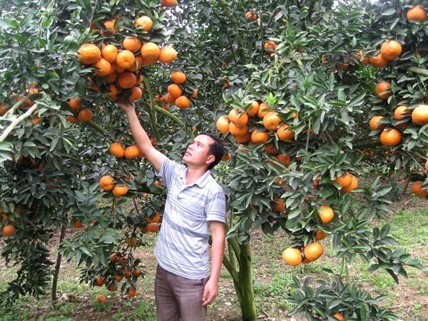 河江省光平县采用越南良好农业规范认证标准可持续发展橙子种植 - ảnh 1