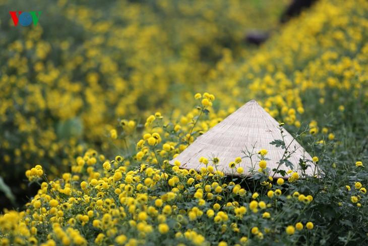 ความสวยงามของทุ่งดอกเก็กฮวย - ảnh 4