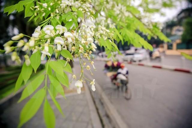 ความสวยงามของดอกประดู่ ในกรุงฮานอย - ảnh 3